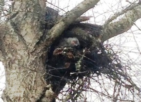 First view of Mom on nest with owlet