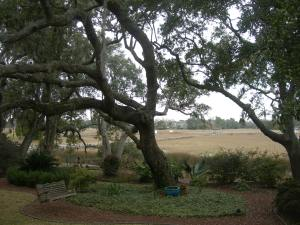 Our back garden Live Oaks