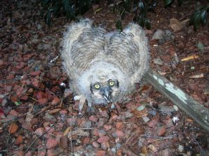 Owlet down 7th time Feb 23 003