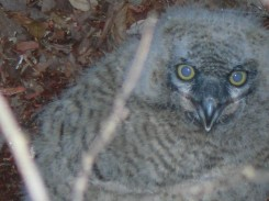 Owlets Down Feb 22 OMG 002
