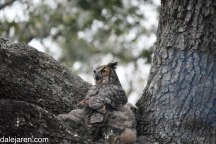Adult wary while feeding owlets