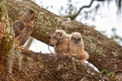 What do owlets eat?