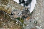 Expelling Owl Pellet