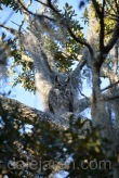 Why the parent owl on watch is hard to spot
