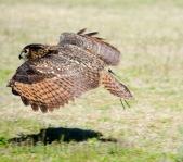 mar 14 harris hawk flying 2 at Birds of Prey 2