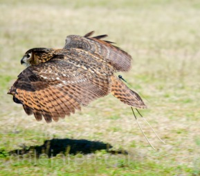 mar 14 harris hawk flying 2 at Birds of Prey 2