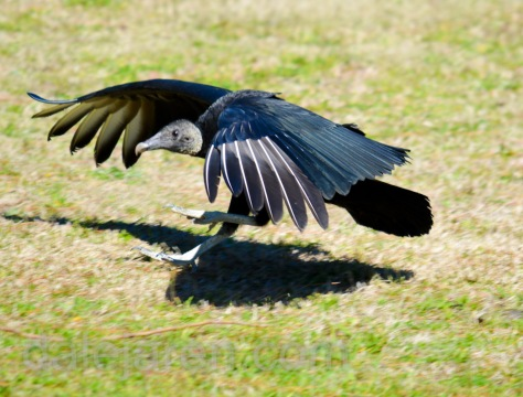 mar 14 vulture landing at Birds of Prey 2