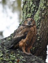 Mar 17 MM in lichen tree, sees familiar face 2