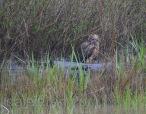 Mar 17 MM in marsh wider shot closer