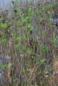 This is why it took me so long. Finding an owlet in the marsh is not as easy as it seems