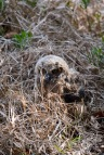 Mar 20 MM is a marsh owl 2