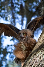 Mar 20 MM is a marsh owl in tree 3rd time flapping 2