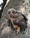 Mar 20 MM is a marsh owl in tree 3rd time