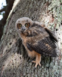 Mar 20 MM is a marsh owl in tree 3rd time