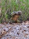 Marsh Owl