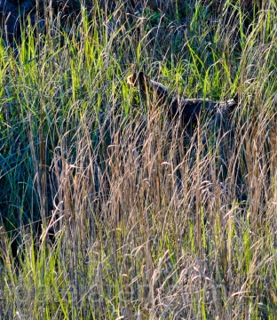 Using wings to get through tall spartina grass