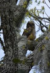 An owlet on good behavior: Big Sib in tree