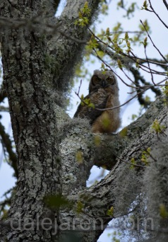 An owlet on good behavior: Big Sib in tree