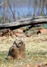 An Owlet on not good behavior: MiniMe on favorite place - the ground