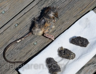 Prey of the day and corresponding owlet pellets