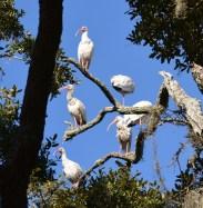 White Ibis Gathering