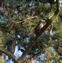 apr 1 owlet and parent in front pines