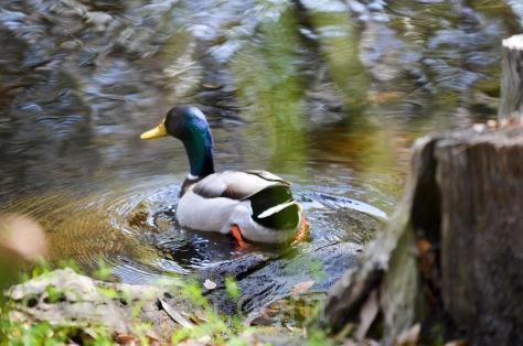 Mallard in pond