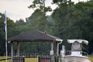 Sep 8 Owl on roof 2