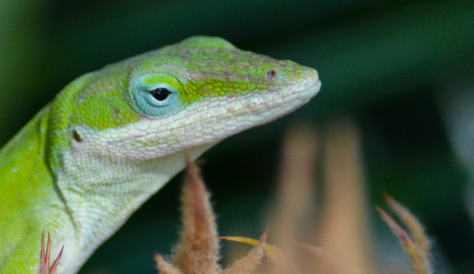 Anole cropped closer