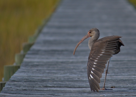 Juvi white ibis 3