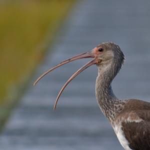 Juvi white ibis 5