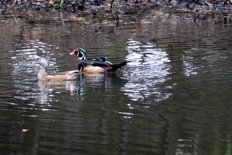 Wood Duck pair in pond