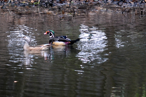 Wood Duck pair in pond